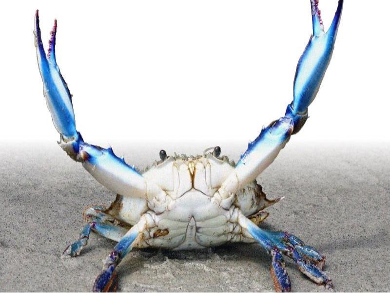 Specie aliene del mare il granchio blu minaccia l 39 adriatico for Ranch a forma di l