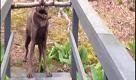 Bastone in bocca, ma il ponte è troppo stretto: il cane trova la soluzione - La Repubblica